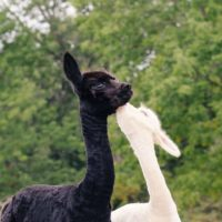 Bath Springs Alpaca Farm and Fiber Arts